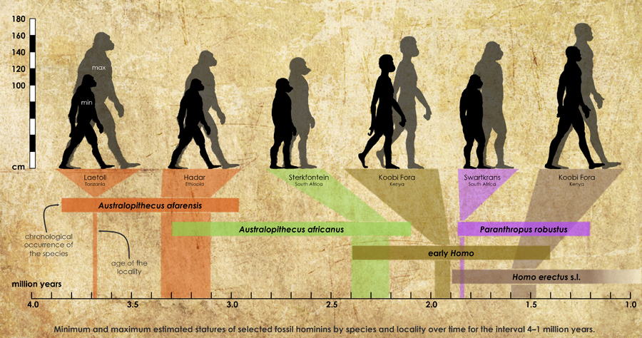 6.Minimum and maximum estimated statures of selected fossil hominins